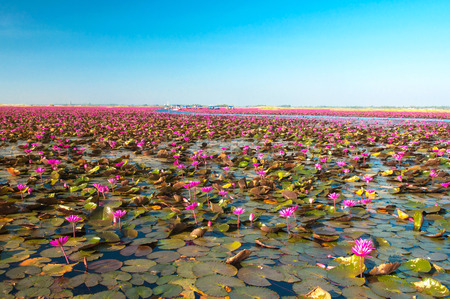 View of pink water lily at the lake