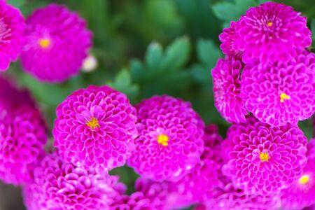 Close-up Pink Dahlia flower photo