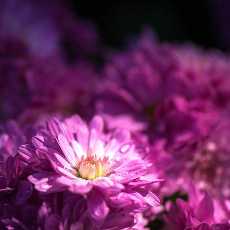 Close up small dahlia flower photo
