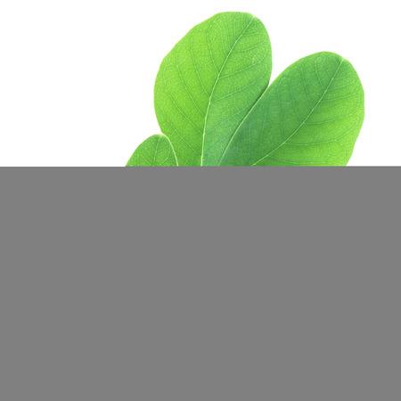 samanea saman: Samanea saman leaf isolated with clipping path
