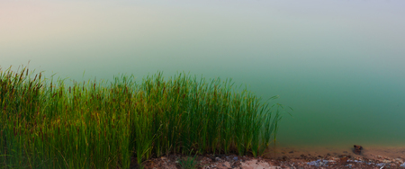 marsh plant: Flowering reed plants with calm lake