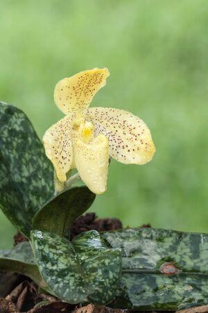 paphiopedilum: Yellow Paphiopedilum orchid