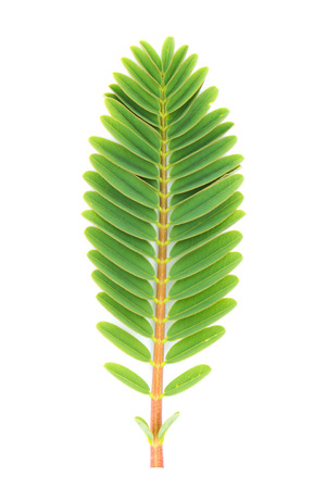 faboideae: Agastas leaf isolated on white background Archivio Fotografico