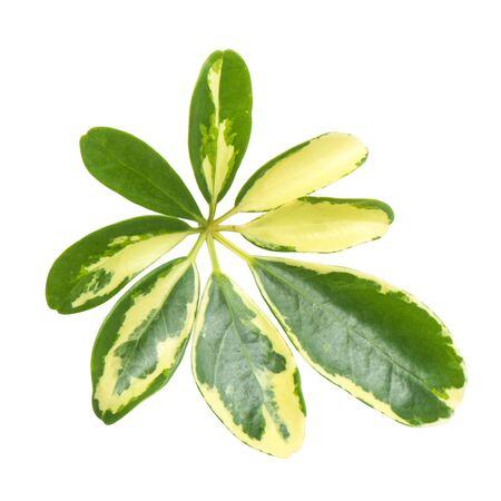 creeping fig: Schefflera actinophyllas leaf isolated