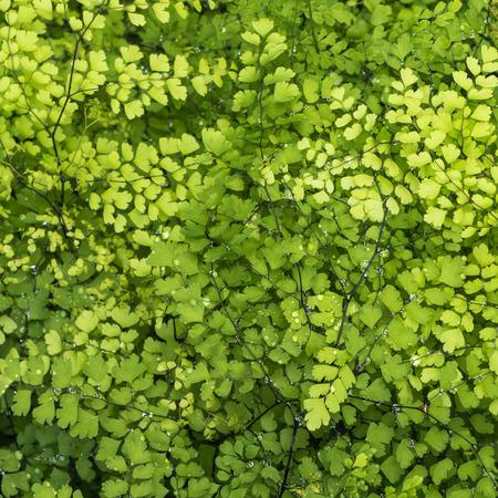 genus: Genus Adiantum Stock Photo