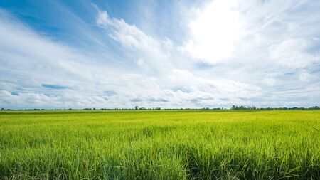 paddy fields: Paddy jasmine rice field with blue sky