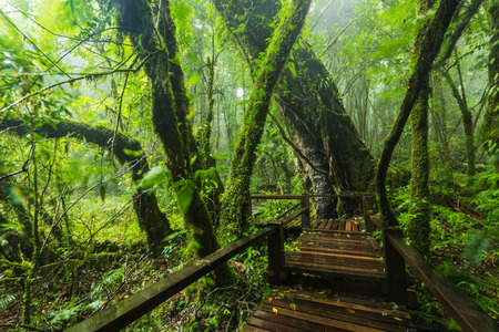 Evergreen forest with wooden walkway after rainy Stockfoto