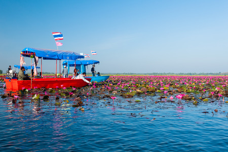 unseen: Udonthani THAILAND-December 5 : Unseen pink water lily festival in Udonthani. On December 5, 2014 in Udonthai ,Thailand