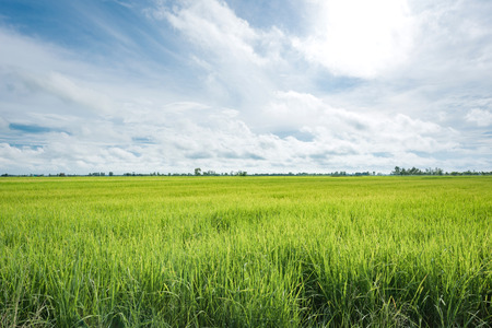 paddy fields: Paddy jasmine rice farm in Thailand