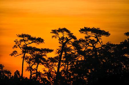 loei: Pine silhouette and Sunset at Phu Kradueng National Park in Thailand