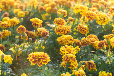 oleoresin: Marigold garden in the morning