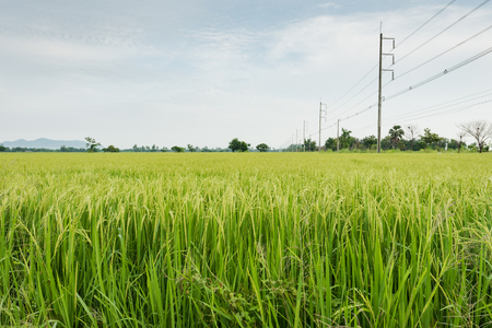 monoculture: Monoculture crops with rice farm