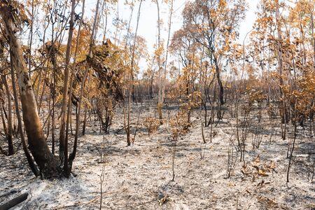eucalyptus trees: Eucalyptus trees after a forest fire