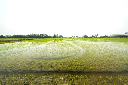 paddies: Rice paddies in Thailand