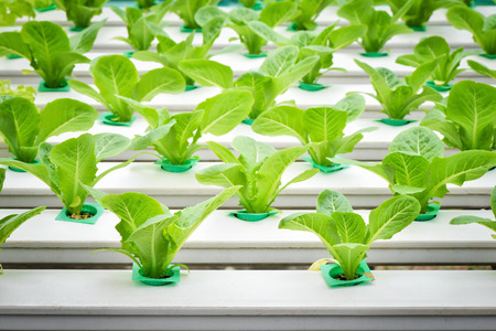 Vegetables hydroponic farm, Yuong lettuce on plastic shelf in a row