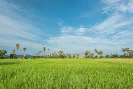 cultivated land: Green landscape with rice field in Thailand, Beautiful cultivated land with paddy field