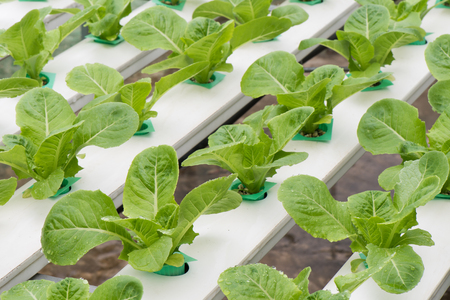 hydroponic: Hydroponic vegetables, Lettuce vegetables at hydroponic farm