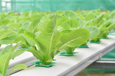 hydroponic: Lettuce vegetables in hydroponic farm