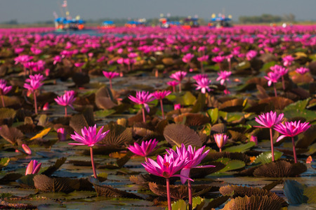 dazzlingly: Gorgeously landscape of pink waterlily at the lake, Located udothani province , Thailand