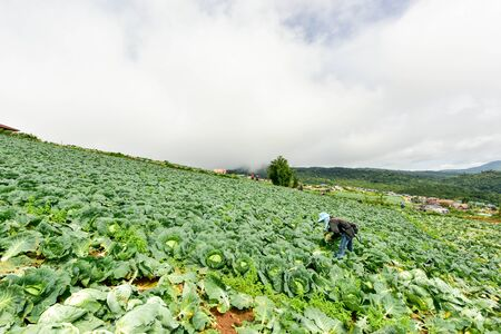 PHU TUB BERK, PECT CHA BOON PROVINCE, THAILAND : Cabbage fields with workers harvesting cabbage in the farmland, June 3, 2016