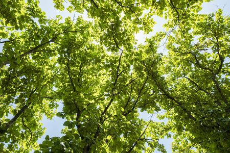 low angles: Teak leaf on tree low angle view with blue sky Stock Photo