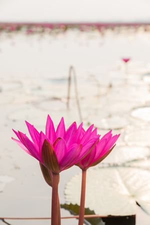 nymphaeaceae: Closeup beautiful pink water lily in the morning Stock Photo
