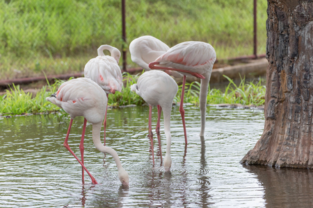 phoenicopterus: Greater Flamingo or Phoenicopterus roseus searching foods in a shallow water