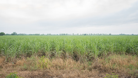 cultivated land: Sugar cane plantation and cultivated land landscape in Thailand