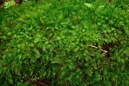 tropical evergreen forest: Evergreen green moss in nature , Beautifull green moss in the tropical rian forest