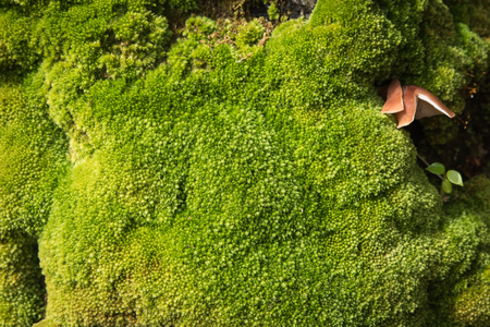 tropical evergreen forest: Closeup evergreen green moss in nature , Beautifull green moss in the tropical rian forest