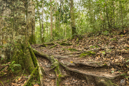 tropical evergreen forest: Primitive Evergreen forest with dirt road Stock Photo