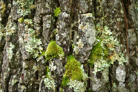 mutualism: Flavoparmelia caperata macrolichens on bark with green moss