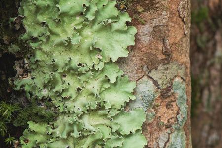 bark rain tree: Flavoparmelia caperata macrolichens on bark with green moss