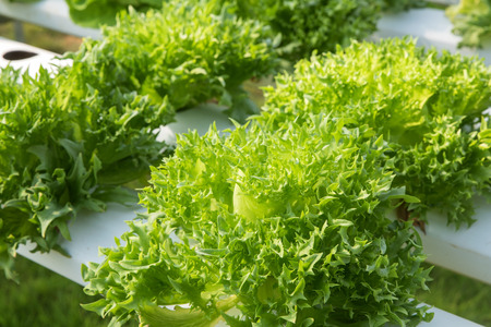 monoculture: Closeup lettuce vegetables at hydroponic farm