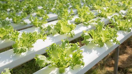 Lettuce vegetable at hydroponic farm Stock Photo