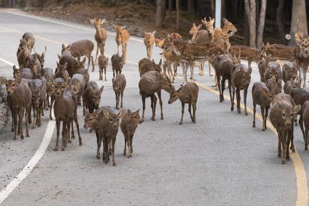 Kudde herten loopt over de snelweg Stockfoto