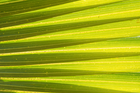 Coconut leaf for background and textured
