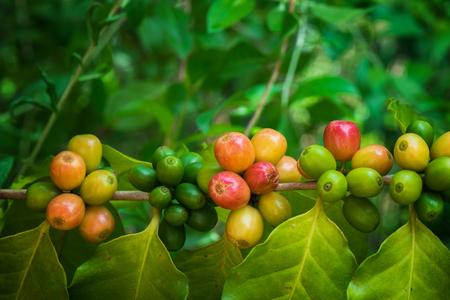 Closeup ripe coffe crop on tree
