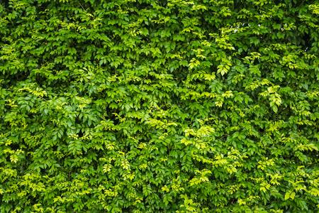 自然緑の葉の背景、テクスチャ、背景パノラマの葉の壁