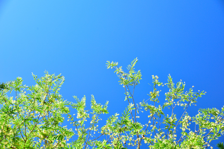 Tamarind leaf with clear sky, Closeup tamarind with blue sky low angle view Stock Photo