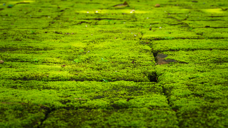 Green moss growing on old brick wall, Evergreen green moss at primitive forest located  Inthanon national park, Chiangmai, Thailand