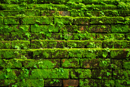 Green moss growing on old brick wall, Evergreen green moss at primitive forest located  Inthanon national park Stock Photo