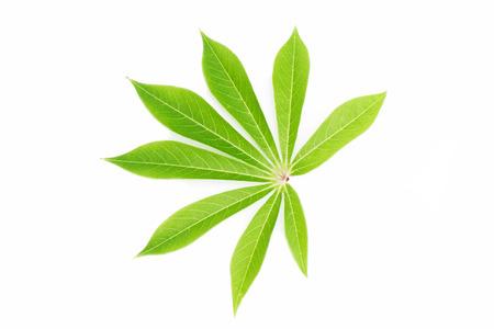 Cassava leaf isolated on white background