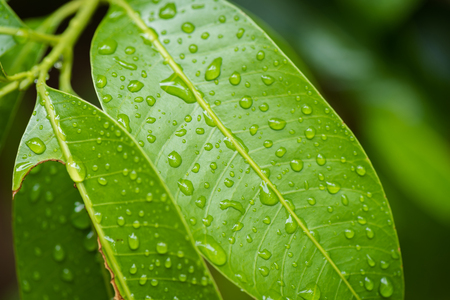 Green leaf with dew after rainy for nature background