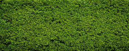 Nature green leaf background and textured, Leaves wall for backdrop Banque d'images - 106165050