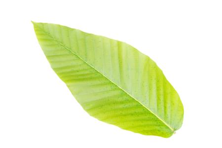 Dipterocarpus alatus leaf isolated on white background Banque d'images - 109886890