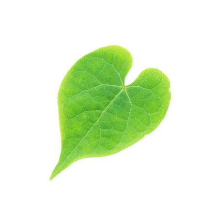 Tinospora crispa leaf isolated on white background, Beautiful green heart shape leaf Banque d'images - 109886892