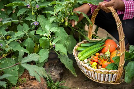 Female harvesting vegetables organic at farm, Harvested season vegetables, Organic farming Standard-Bild - 132005148