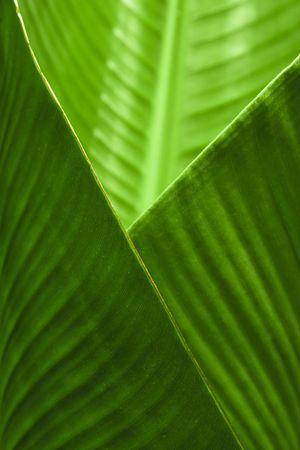 banana leaf: Un portarretrato de hoja de pl�tano