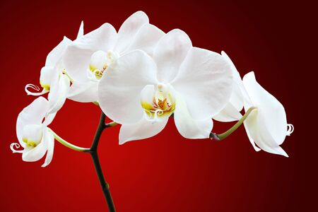 white orchid: White orchid closeup against red, focus on the pistil